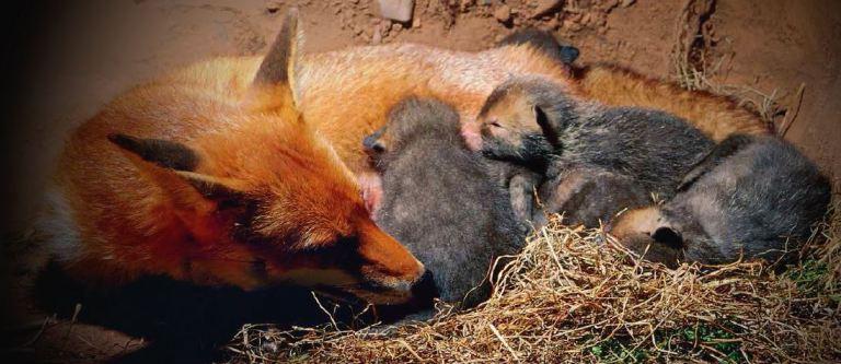 foxden